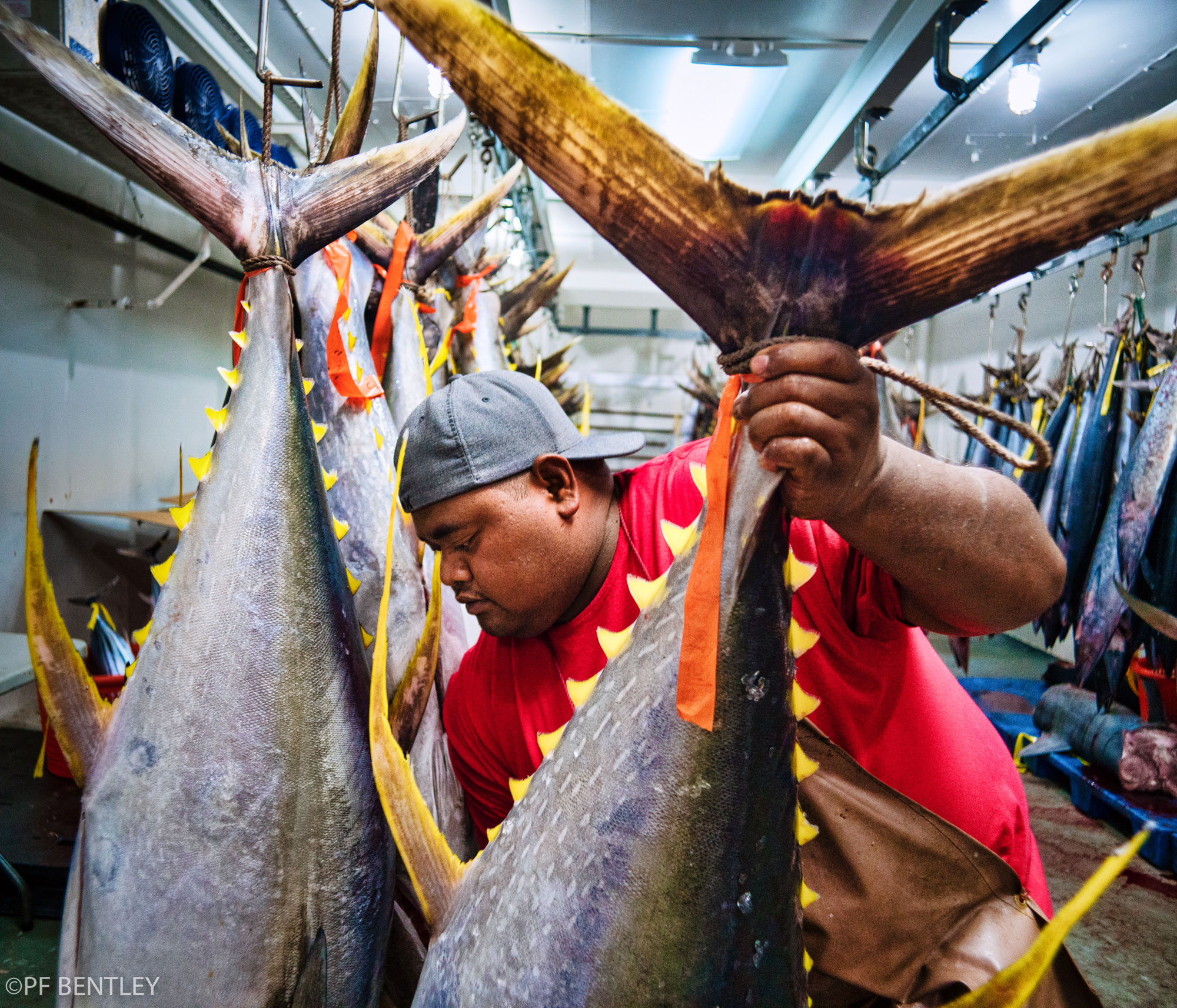 Bossy Sitiru hangs new incoming ahi in the cold storage room at the Suisan Fish Market in Hilo.